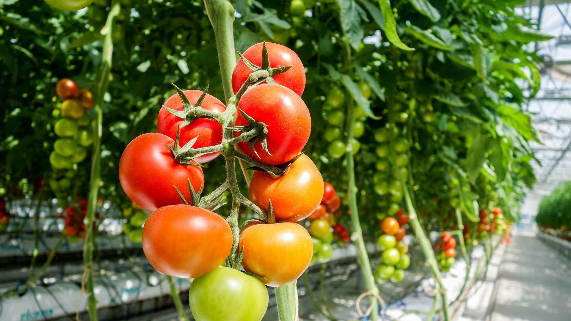 tomato-1310961_1920_web