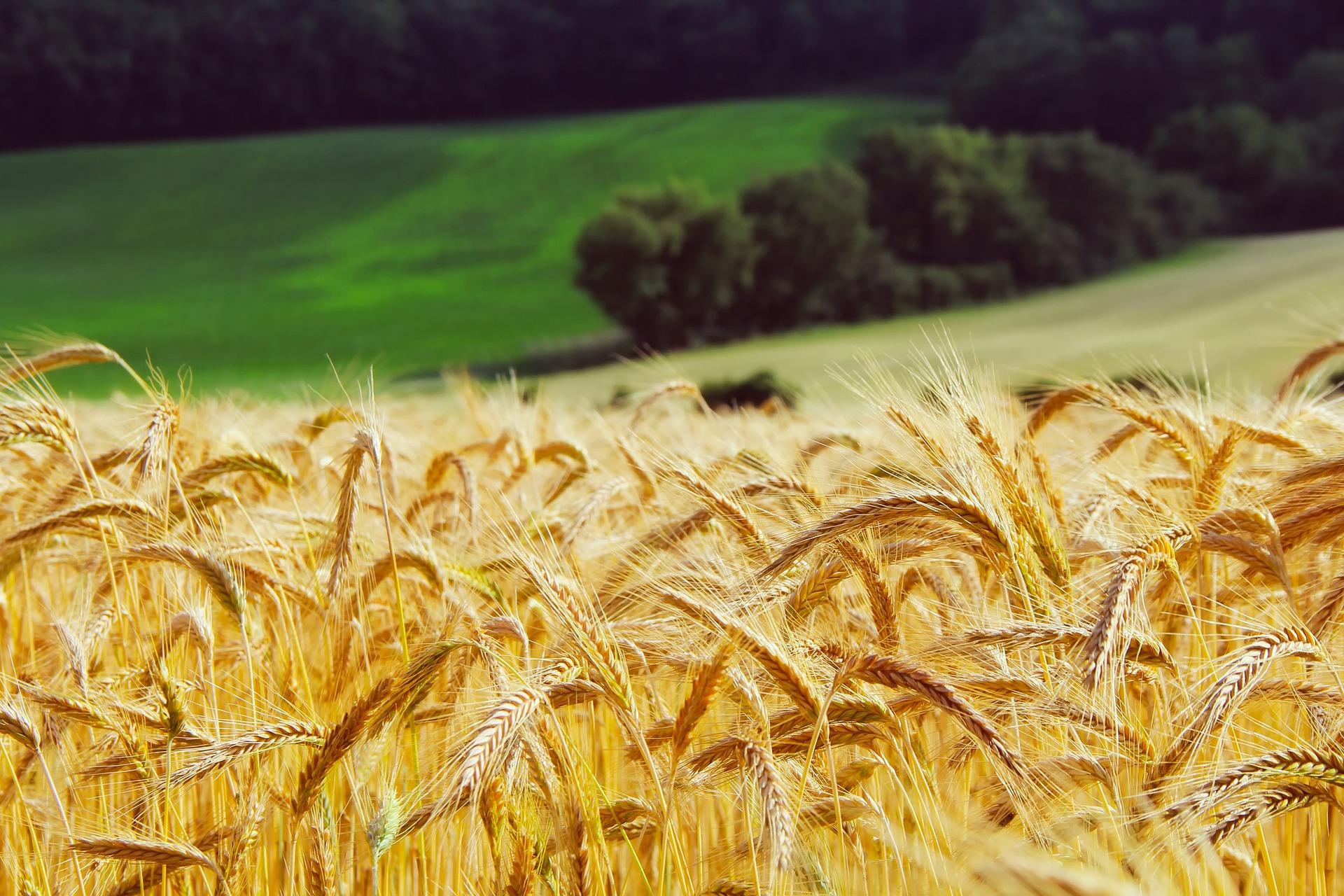 wheat-1995041_1920